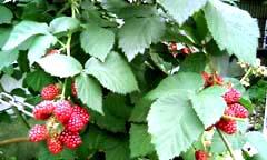 0708berry